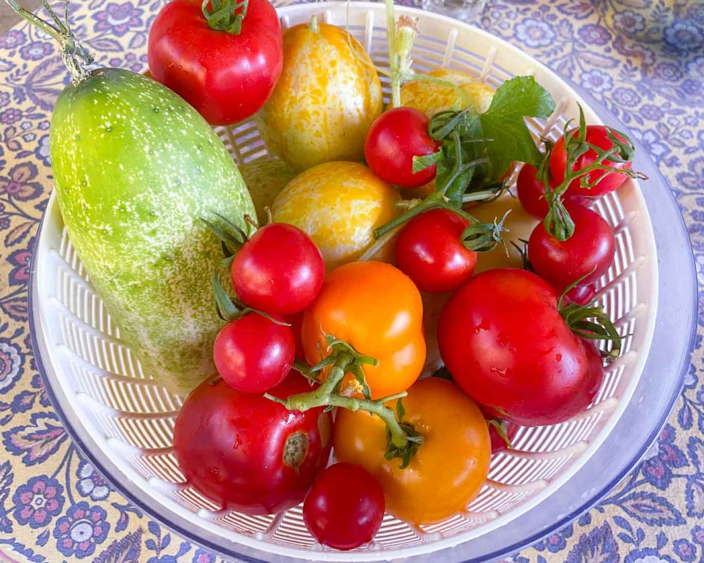 Fresh from the garden, orange tomatoes, red tomatoes, cherry tomatoes, and cucumbers in a salad spin bowl
